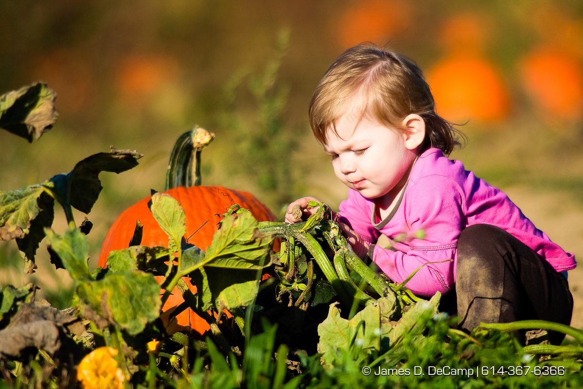 Madison Justus, 18 months, is more fainated with the vines in the pumpkin patch than the actual pumpkins during her first visit to the fields of Lynd's Fruit Farm in Licking County Saturday October 20, 2007. Madison was hunting pumpkins with her grandparents Gary & Samantha Justus from Columbus. (© James D. DeCamp | http://www.JamesDeCamp.com | 614-367-6366) [Photographed with Canon 1D MkII cameras in RAW mode with L series lenses]